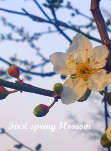 First Spring blossum